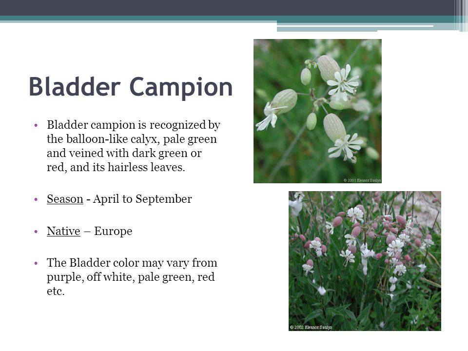 Bladder Campion Bladder campion is recognized by the balloon-like calyx, pale green and veined with dark green or red, and its hairless leaves.