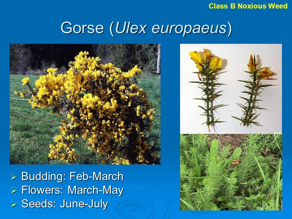 Gorse (Ulex europaeus) Budding: Feb-March Budding: Feb-March Flowers: March-May Flowers: March-May Seeds: June-July Seeds: June-July Class B Noxious W