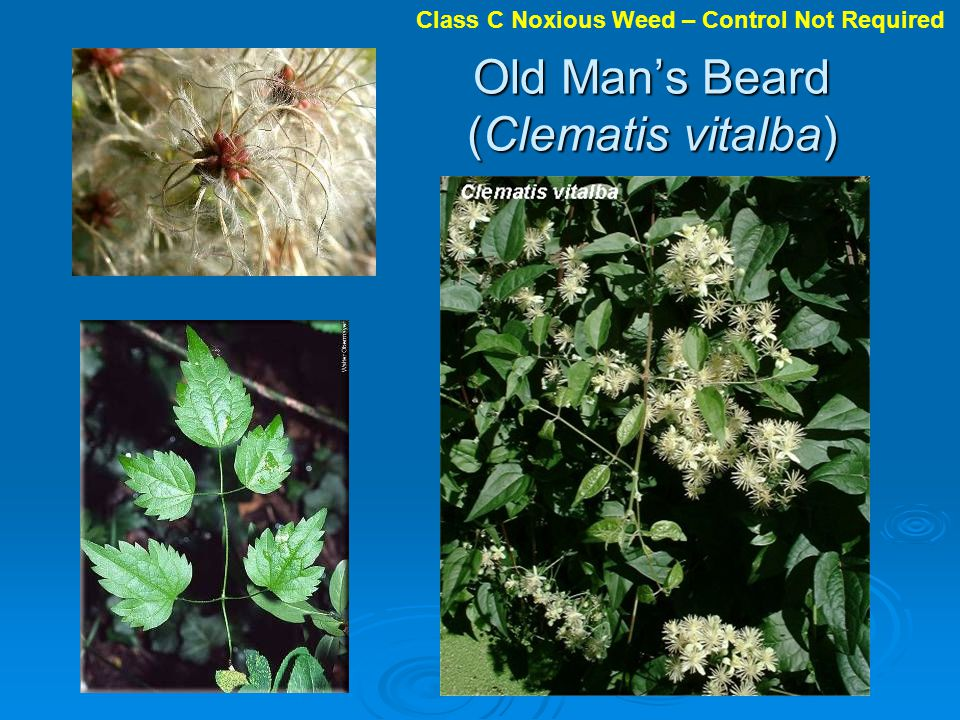 Old Mans Beard (Clematis vitalba) Class C Noxious Weed – Control Not Required