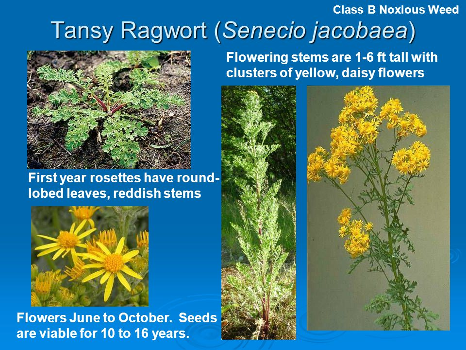 Tansy Ragwort (Senecio jacobaea) First year rosettes have round- lobed leaves, reddish stems Flowering stems are 1-6 ft tall with clusters of yellow,