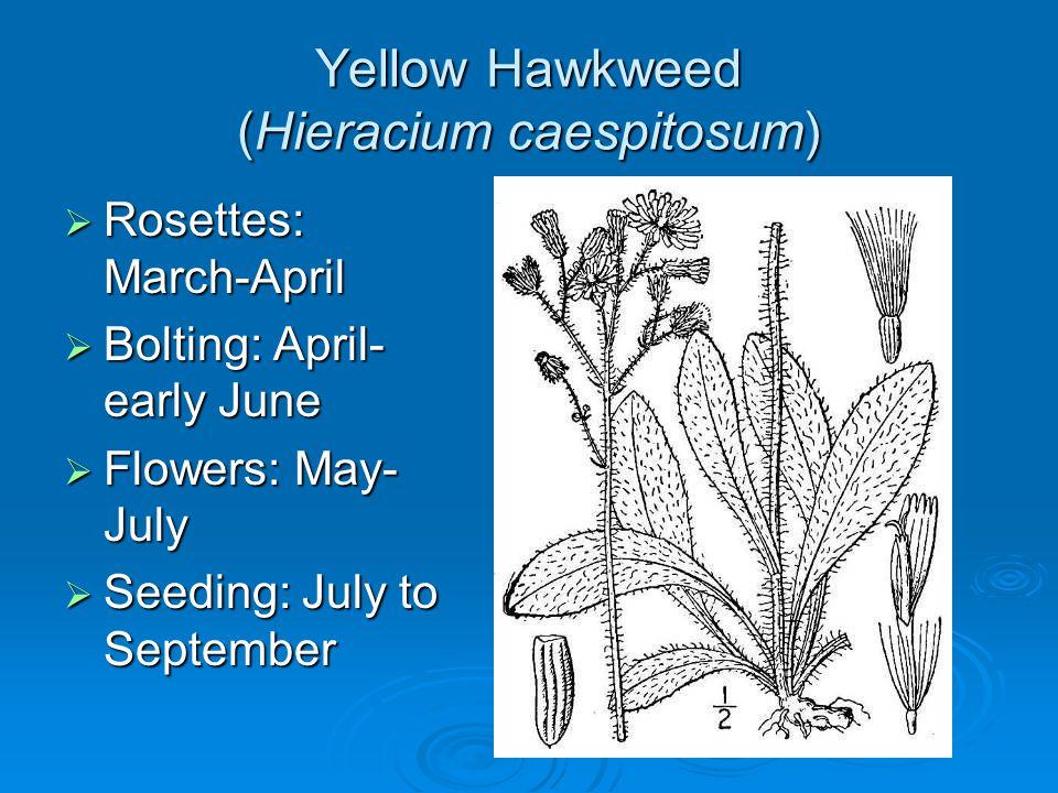 Yellow Hawkweed (Hieracium caespitosum) Rosettes: March-April Rosettes: March-April Bolting: April- early June Bolting: April- early June Flowers: May