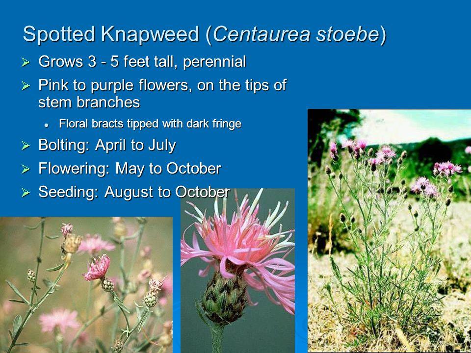 Spotted Knapweed (Centaurea stoebe) Grows 3 - 5 feet tall, perennial Grows 3 - 5 feet tall, perennial Pink to purple flowers, on the tips of stem bran