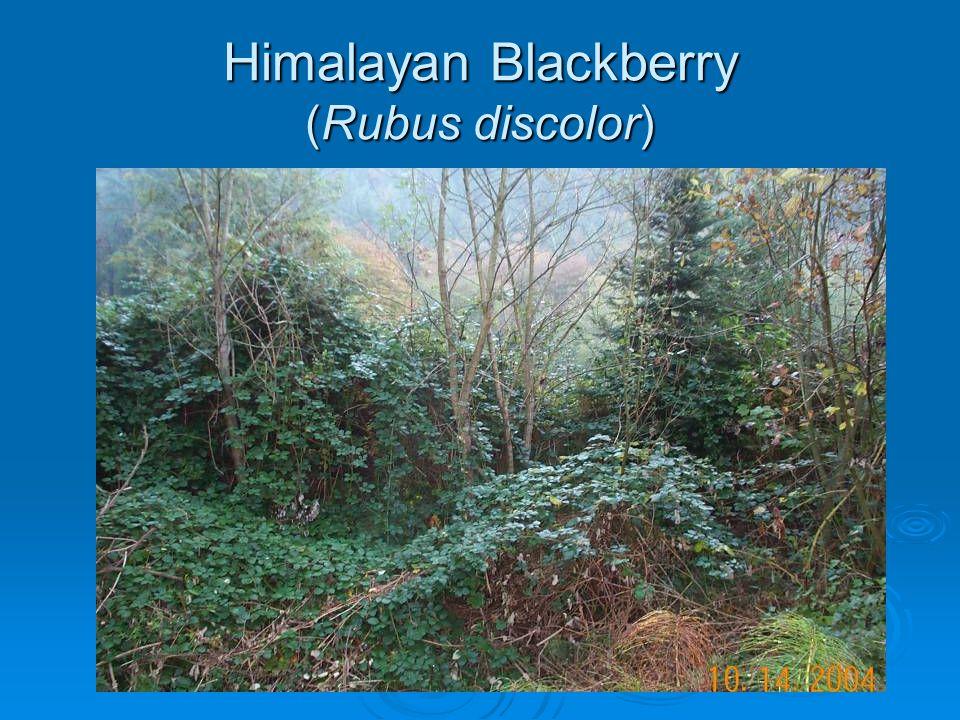 Himalayan Blackberry (Rubus discolor)