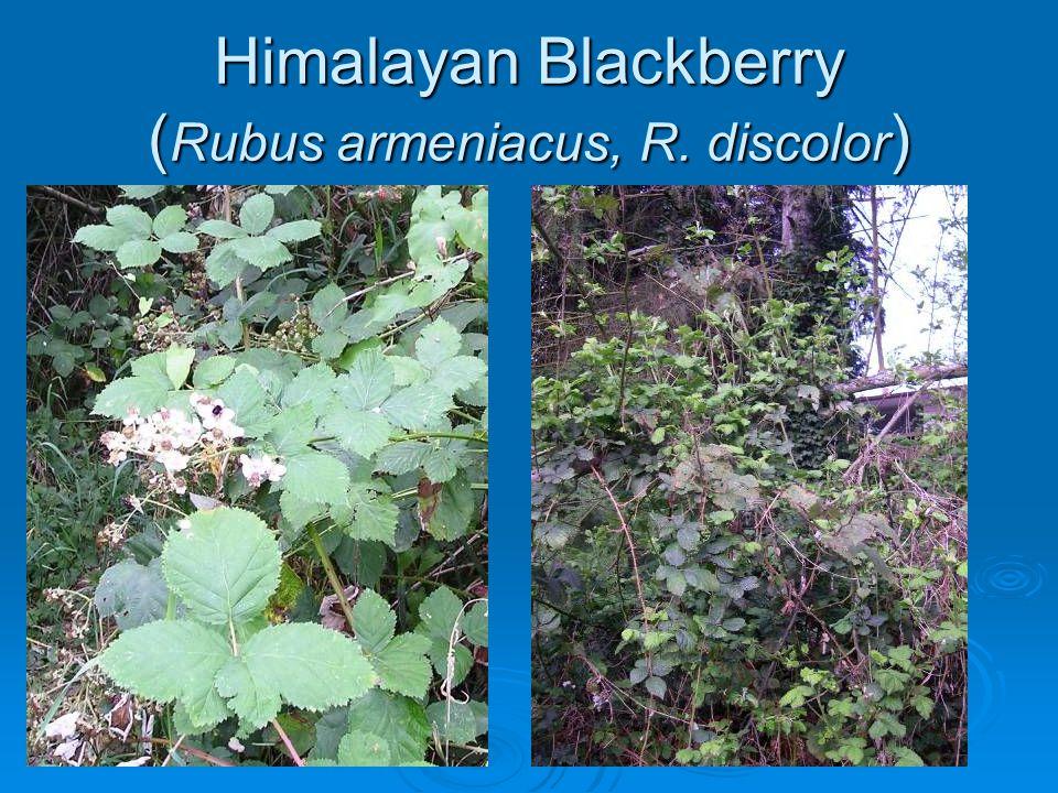 Himalayan Blackberry ( Rubus armeniacus, R. discolor )
