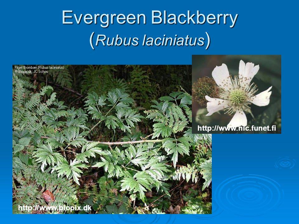 Evergreen Blackberry ( Rubus laciniatus ) http://www.biopix.dk http://www.nic.funet.fi