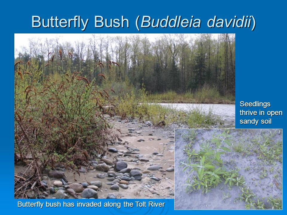 Butterfly Bush (Buddleia davidii) Butterfly bush has invaded along the Tolt River Seedlings thrive in open sandy soil