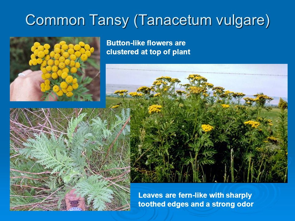 Common Tansy (Tanacetum vulgare) Button-like flowers are clustered at top of plant Leaves are fern-like with sharply toothed edges and a strong odor