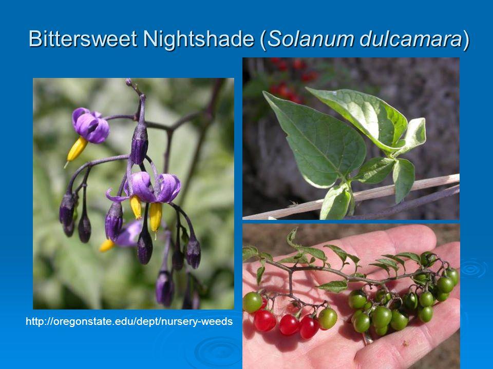Bittersweet Nightshade (Solanum dulcamara) http://oregonstate.edu/dept/nursery-weeds