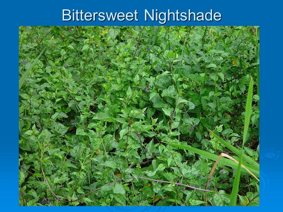Bittersweet Nightshade