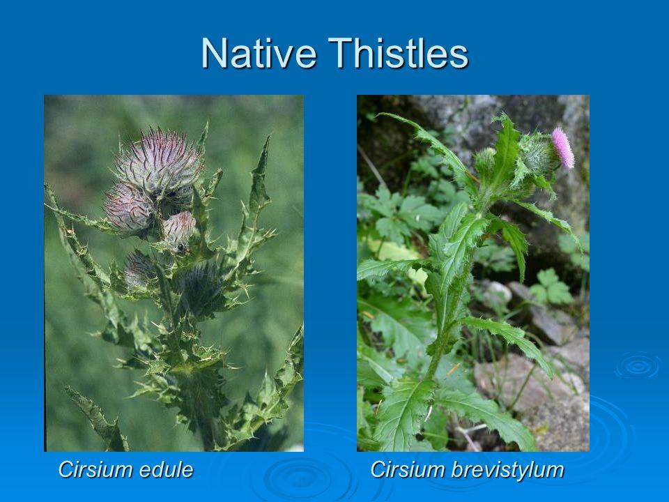 Native Thistles Cirsium brevistylum Cirsium edule