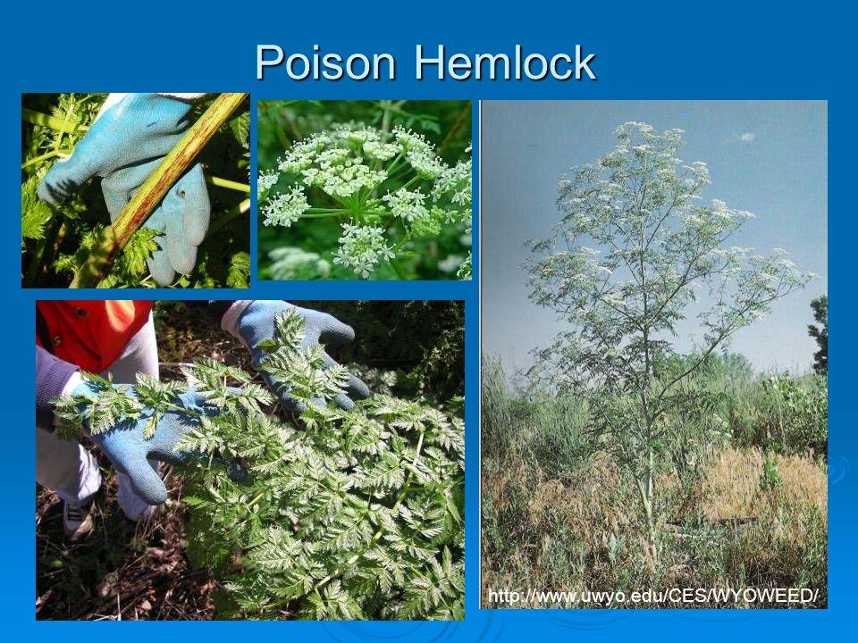 Poison Hemlock http://www.uwyo.edu/CES/WYOWEED/