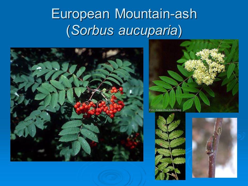European Mountain-ash (Sorbus aucuparia)
