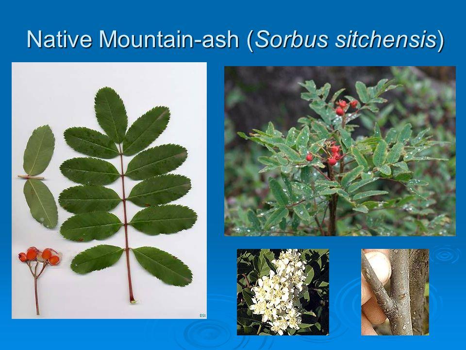 Native Mountain-ash (Sorbus sitchensis)