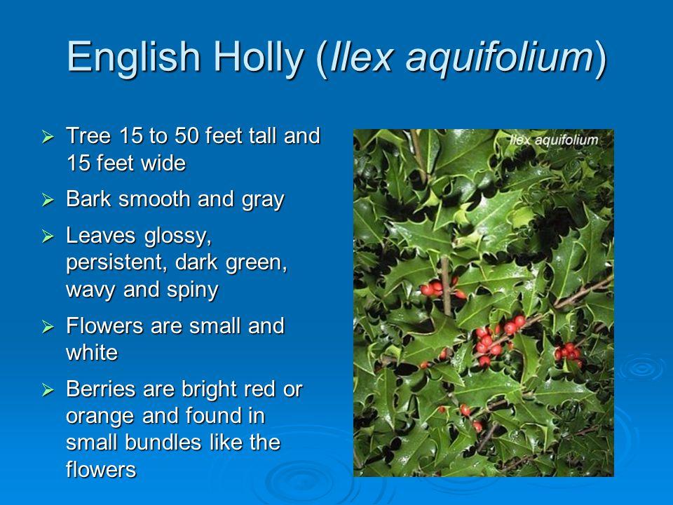English Holly (Ilex aquifolium) Tree 15 to 50 feet tall and 15 feet wide Tree 15 to 50 feet tall and 15 feet wide Bark smooth and gray Bark smooth and
