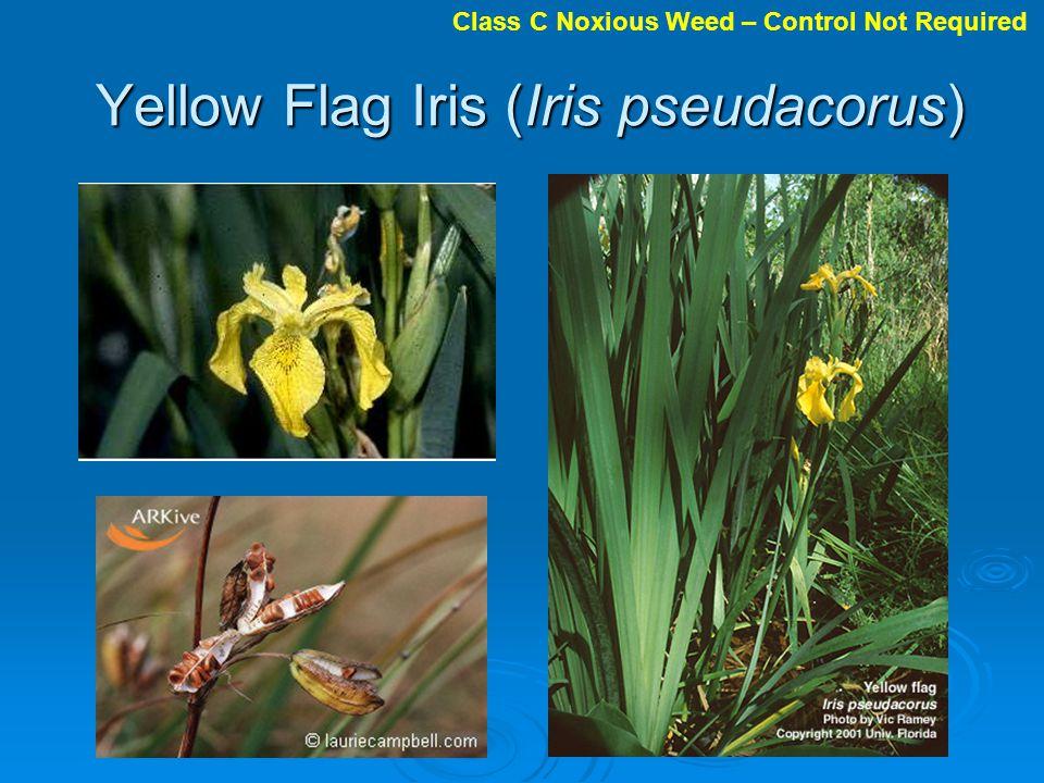 Yellow Flag Iris (Iris pseudacorus) Class C Noxious Weed – Control Not Required