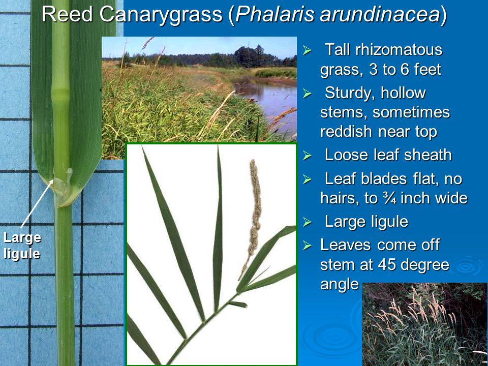 Loose leaf sheath Largeligule Reed Canarygrass (Phalaris arundinacea) Tall rhizomatous grass, 3 to 6 feet Tall rhizomatous grass, 3 to 6 feet Sturdy,