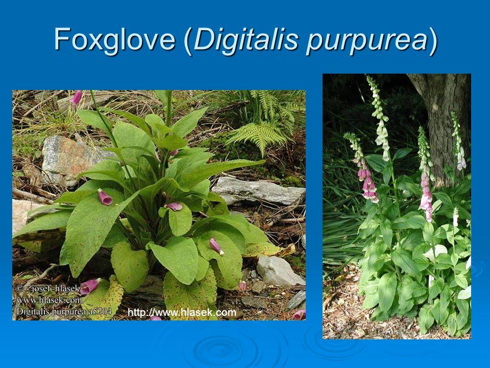 Foxglove (Digitalis purpurea) http://www.hlasek.com