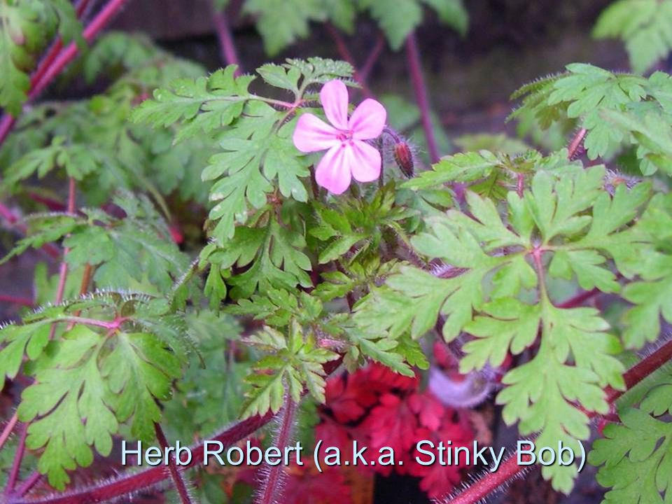 Herb Robert (a.k.a. Stinky Bob)