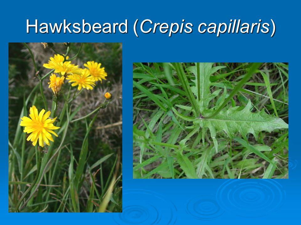 Hawksbeard (Crepis capillaris)