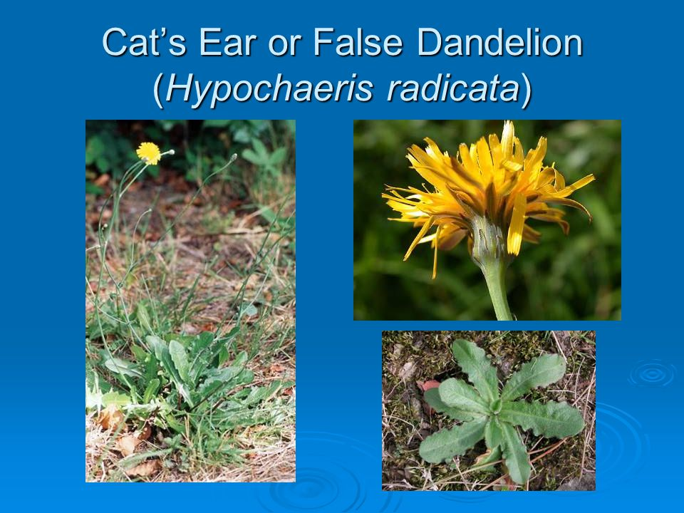 Cats Ear or False Dandelion (Hypochaeris radicata)