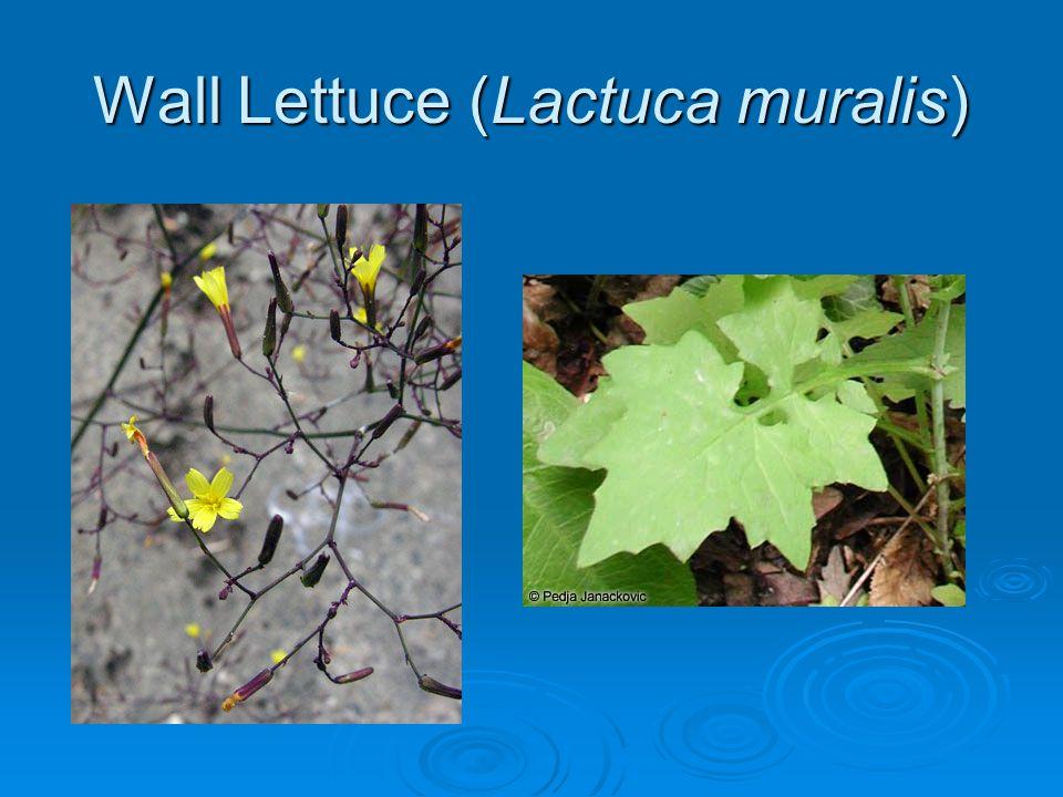 Wall Lettuce (Lactuca muralis)