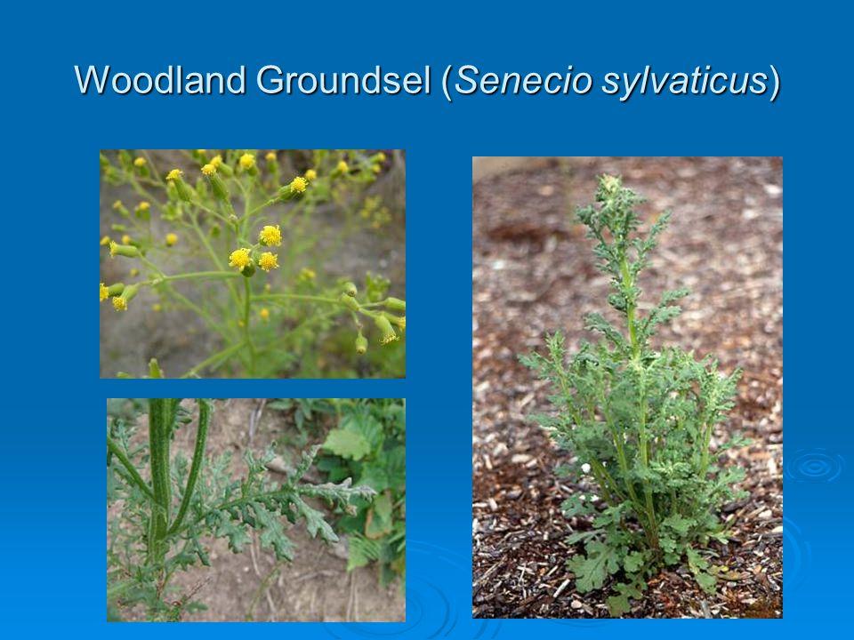 Woodland Groundsel (Senecio sylvaticus)