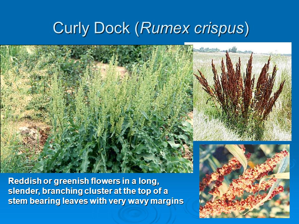 Curly Dock (Rumex crispus) Reddish or greenish flowers in a long, slender, branching cluster at the top of a stem bearing leaves with very wavy margin