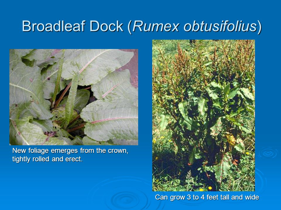 Broadleaf Dock (Rumex obtusifolius) New foliage emerges from the crown, tightly rolled and erect. Can grow 3 to 4 feet tall and wide