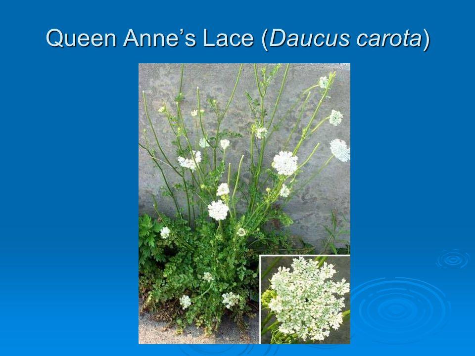 Queen Annes Lace (Daucus carota)