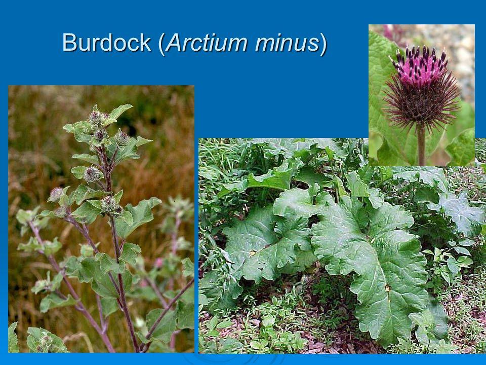 Burdock (Arctium minus)