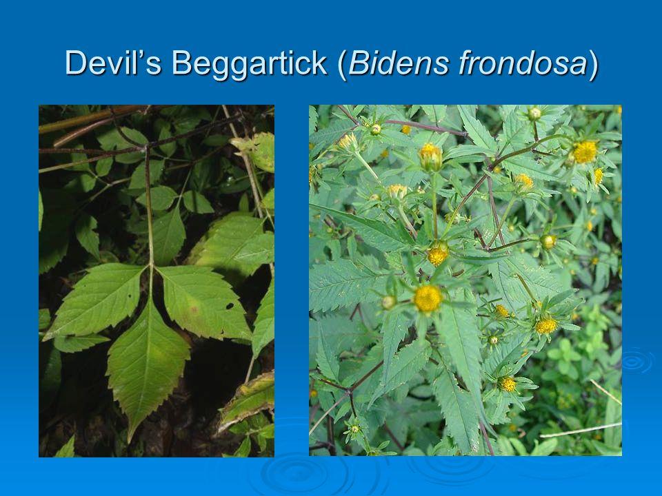 Devils Beggartick (Bidens frondosa)