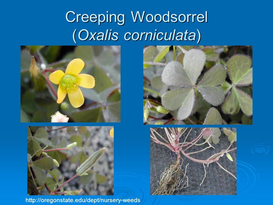 Creeping Woodsorrel (Oxalis corniculata) http://oregonstate.edu/dept/nursery-weeds