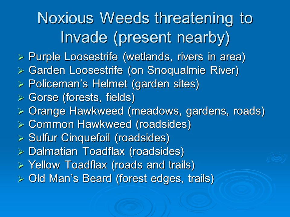 Noxious Weeds threatening to Invade (present nearby) Purple Loosestrife (wetlands, rivers in area) Purple Loosestrife (wetlands, rivers in area) Garde