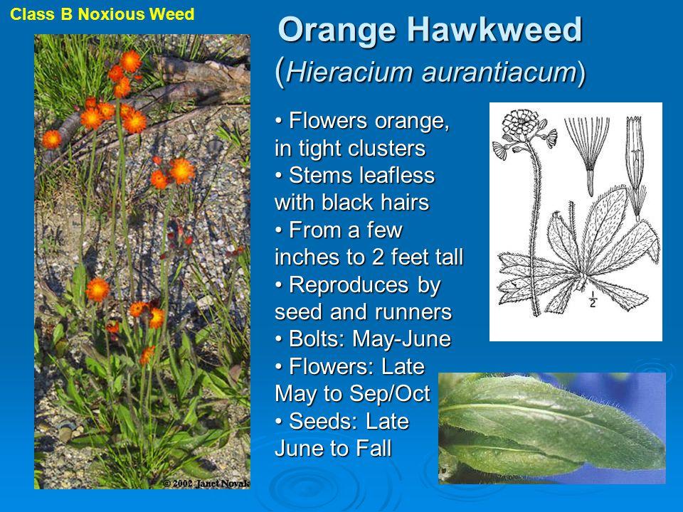 Orange Hawkweed ( Hieracium aurantiacum) Flowers orange, in tight clusters Flowers orange, in tight clusters Stems leafless with black hairs Stems lea