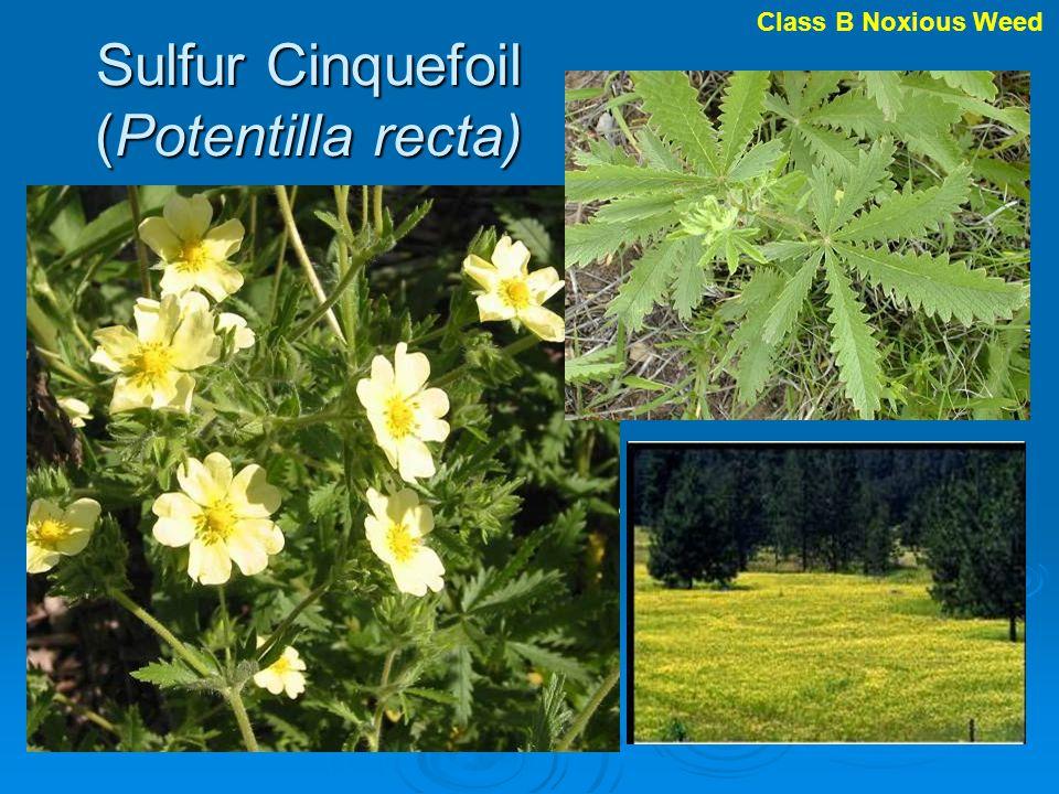 Sulfur Cinquefoil (Potentilla recta) Class B Noxious Weed