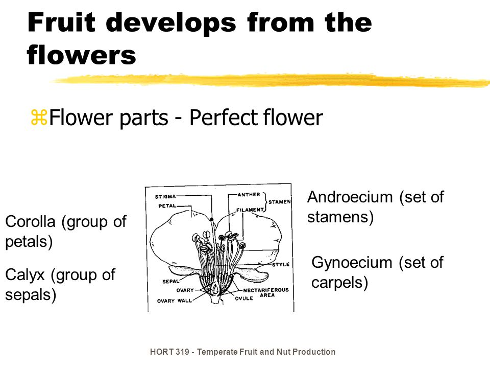HORT 319 - Temperate Fruit and Nut Production Aggregate Fruit Many ovules One flower