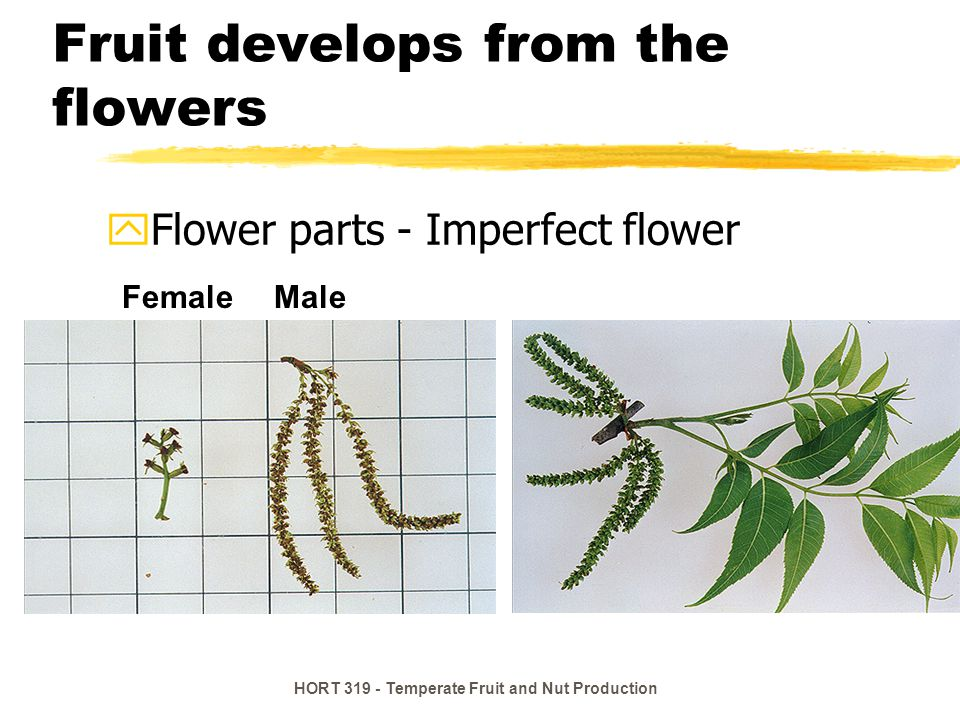 HORT 319 - Temperate Fruit and Nut Production Fruit develops from the flowers yFlower parts - Imperfect flower MaleFemale