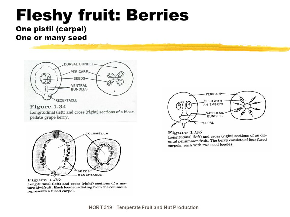 HORT 319 - Temperate Fruit and Nut Production Fleshy fruit: Drupes One seeded Seed within stony endocarp zPeach, plum, apricot, cherry ySkin = exocarp yEat mesocarp yPit = endocarp