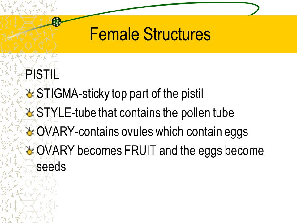 Pollination Transfer of pollen from male to female Animals, wind, and water can be pollinators Animals-Bees, wasps, male mosquitoes, flies, bats, hummingbirds Pollen contains two sperm cells that will break out and travel to the ovary through the pollen tube.