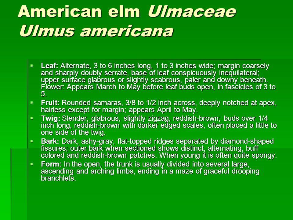 American elm Ulmaceae Ulmus americana
