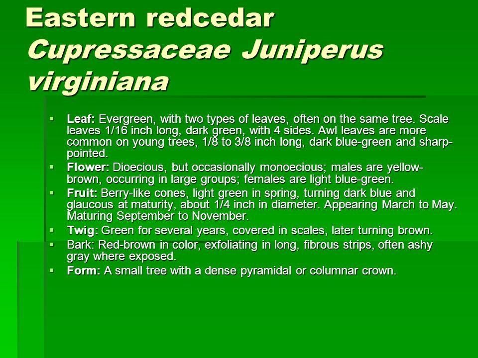 Eastern redcedar Cupressaceae Juniperus virginiana
