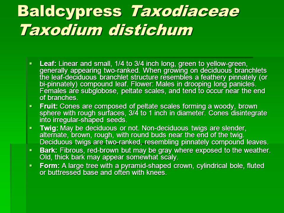 Baldcypress Taxodiaceae Taxodium distichum Baldcypress Taxodiaceae Taxodium distichum