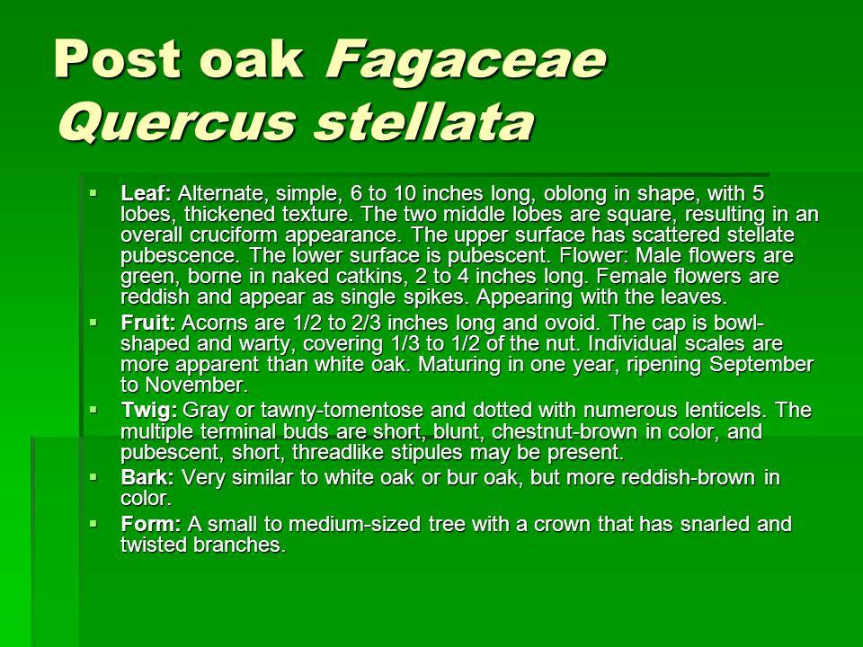 Post oak Fagaceae Quercus stellata