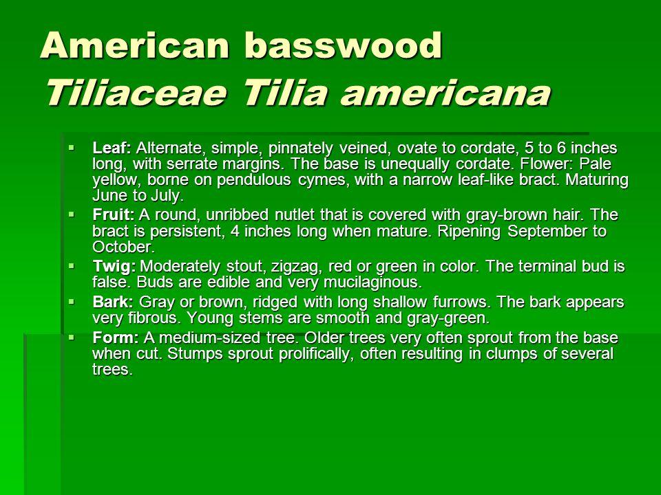 American basswood Tiliaceae Tilia americana