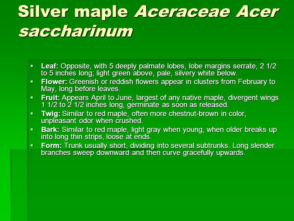 Silver maple Aceraceae Acer saccharinum