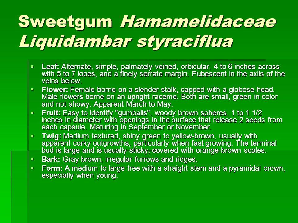 Sweetgum Hamamelidaceae Liquidambar styraciflua