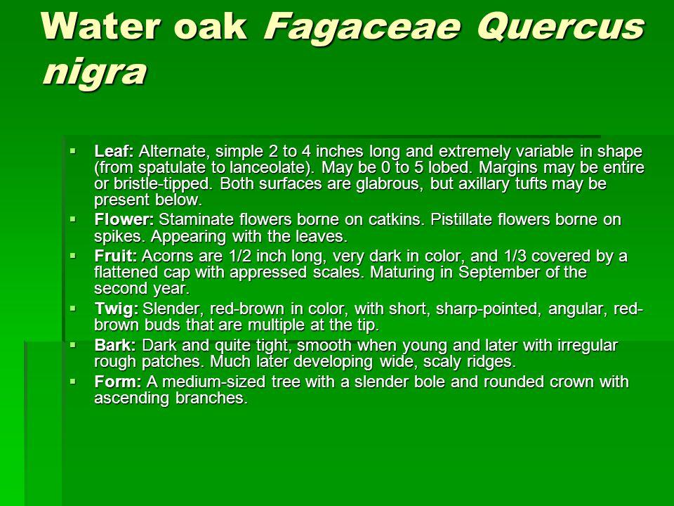 Water oak Fagaceae Quercus nigra
