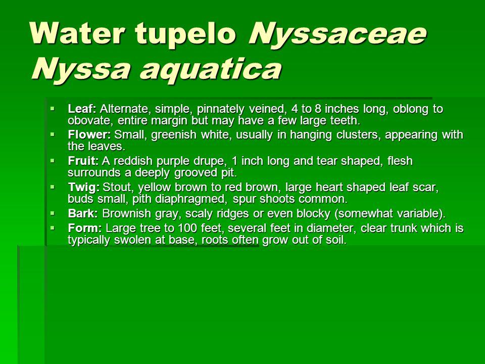 Water tupelo Nyssaceae Nyssa aquatica