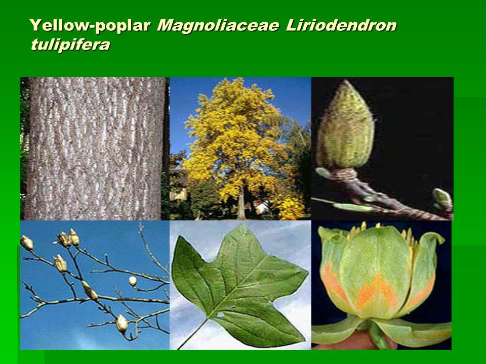 Yellow-poplar Magnoliaceae Liriodendron tulipifera
