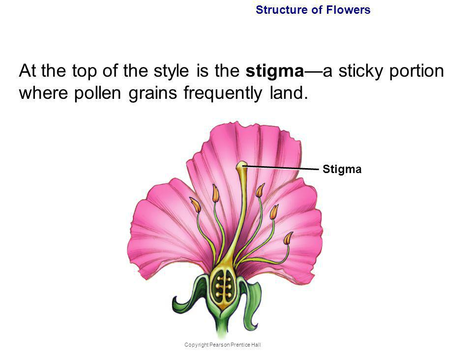 Copyright Pearson Prentice Hall Structure of Flowers At the top of the style is the stigmaa sticky portion where pollen grains frequently land. Stigma